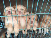 Young Female Purebred Maltese | Dogs & Puppies for sale in Central Region, Awutu-Senya