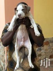 Baby Female Purebred American Pit Bull Terrier | Dogs & Puppies for sale in Greater Accra, North Kaneshie
