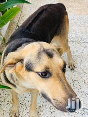 Adult Female Mixed Breed German Shepherd Dog | Dogs & Puppies for sale in Greater Accra, Mataheko