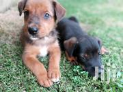 Baby Male Mixed Breed Doberman Pinscher | Dogs & Puppies for sale in Greater Accra, Achimota