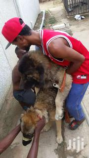 Pedigree Security Dogs   Dogs & Puppies for sale in Greater Accra, Teshie-Nungua Estates