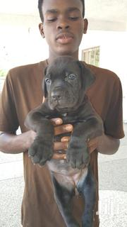 Baby Female Purebred Boerboel | Dogs & Puppies for sale in Greater Accra, Burma Camp