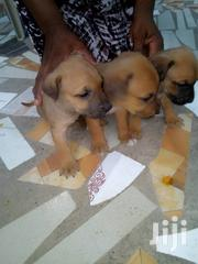 Young Female Mixed Breed Boerboel | Dogs & Puppies for sale in Central Region, Awutu-Senya