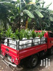 Hybrid Dwarf Coconut Seedlings For Sale | Feeds, Supplements & Seeds for sale in Greater Accra, Achimota