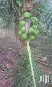 Dwarf Coconut Seedlings | Feeds, Supplements & Seeds for sale in Greater Accra, Achimota