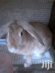 Pregnant Rabbit Going For Cool Price | Other Animals for sale in Greater Accra, Adenta Municipal