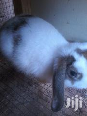 Good Male Rabbit For Sale. | Other Animals for sale in Greater Accra, Adenta Municipal