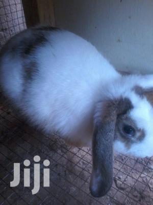 Good Male Rabbit For Sale.