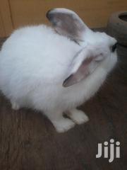 5months Female Rabbit For Sale | Other Animals for sale in Greater Accra, Adenta Municipal