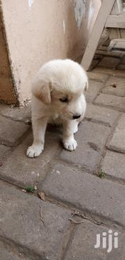 Young Female Mixed Breed Mongrel (No Breed) | Dogs & Puppies for sale in Greater Accra, Tema Metropolitan