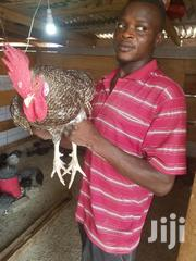 Any Poultry Farm For Rent | Commercial Property For Rent for sale in Ashanti, Kumasi Metropolitan