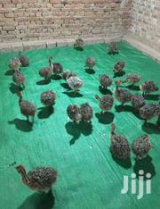 Ostrich Chicks | Birds for sale in Ashanti, Kumasi Metropolitan
