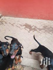 Baby Female Mixed Breed Doberman Pinscher | Fish for sale in Greater Accra, East Legon