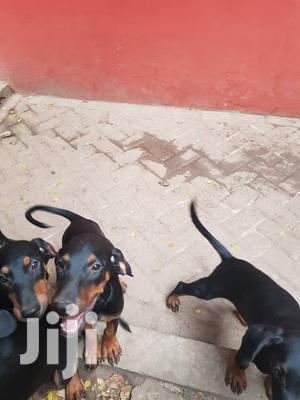 Baby Female Mixed Breed Doberman Pinscher