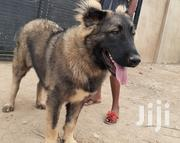 Young Female Purebred Caucasian Shepherd Dog | Dogs & Puppies for sale in Greater Accra, Ga West Municipal