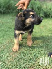 Baby Female Purebred German Shepherd Dog | Dogs & Puppies for sale in Greater Accra, Adenta Municipal