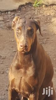 Adult Female Purebred Doberman Pinscher | Dogs & Puppies for sale in Eastern Region, Asuogyaman