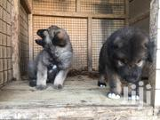Baby Male Purebred Caucasian Shepherd Dog | Dogs & Puppies for sale in Greater Accra, Ga South Municipal