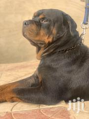 Senior Male Purebred Rottweiler | Dogs & Puppies for sale in Greater Accra, Ga East Municipal
