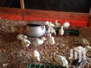 Day Old Turkeys For Sale | Livestock & Poultry for sale in Central Region, Cape Coast Metropolitan