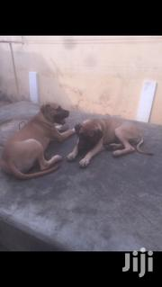 Young Male Purebred Boerboel | Dogs & Puppies for sale in Greater Accra, Dansoman