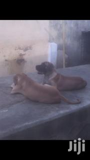 Young Male Purebred Boerboel | Dogs & Puppies for sale in Greater Accra, Airport Residential Area