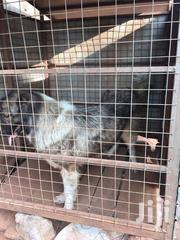Adult Female Purebred Caucasian Shepherd Dog | Dogs & Puppies for sale in Greater Accra, Dzorwulu
