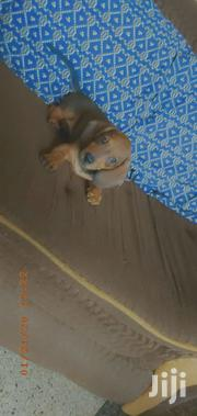 Baby Female Purebred Dachshund | Dogs & Puppies for sale in Greater Accra, Darkuman