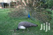 We Offers For Sale The Following Peafowl | Livestock & Poultry for sale in Volta Region, Jasikan