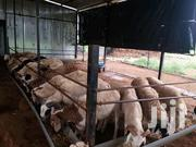 Sheep's For Selling | Other Animals for sale in Northern Region, Yendi
