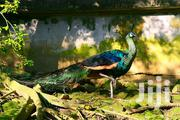 We Offers For Sale The Following Peafowl | Livestock & Poultry for sale in Greater Accra, Accra Metropolitan