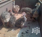 Black Neck Ostrich & Fertile Eggs | Livestock & Poultry for sale in Volta Region, South Dayi