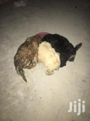 Baby Male Purebred Affenpinscher | Dogs & Puppies for sale in Greater Accra, Tema Metropolitan