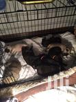 Purebreed Pug Puppies | Dogs & Puppies for sale in East Legon, Greater Accra, Nigeria