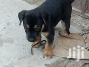 Baby Male Mixed Breed | Dogs & Puppies for sale in Greater Accra, Dansoman
