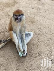 Patas Monkey | Other Animals for sale in Greater Accra, Ga West Municipal