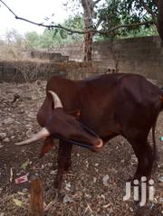 Strong Cows For Sale | Livestock & Poultry for sale in Upper West Region, Sissala East District