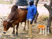 Cow For Sale | Livestock & Poultry for sale in Greater Accra, East Legon