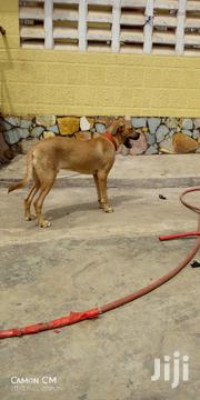 Senior Male Mixed Breed | Dogs & Puppies for sale in Ashanti, Atwima Nwabiagya