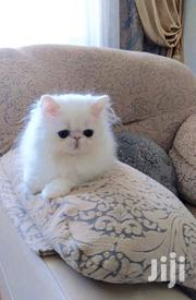Baby Male Purebred Persian | Cats & Kittens for sale in Greater Accra, Airport Residential Area