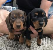 Baby Female Purebred Dachshund | Dogs & Puppies for sale in Greater Accra, Airport Residential Area