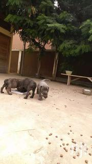 Puppies | Dogs & Puppies for sale in Greater Accra, East Legon