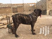 Adult Male Mixed Breed Boerboel | Dogs & Puppies for sale in Greater Accra, Ga South Municipal