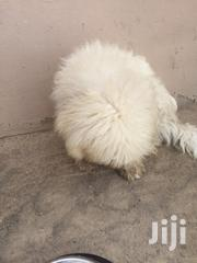 Young Female Purebred Poodle | Dogs & Puppies for sale in Greater Accra, North Kaneshie