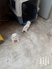 Young Male Mixed Breed Poodle | Dogs & Puppies for sale in Greater Accra, Ledzokuku-Krowor