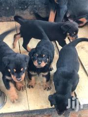 Pure Rottweiller Puppies | Dogs & Puppies for sale in Ashanti, Kumasi Metropolitan