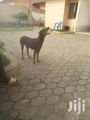 Young Female Purebred Doberman Pinscher | Dogs & Puppies for sale in Greater Accra, Ga East Municipal