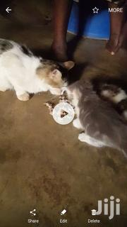 Adult Female Mixed Breed | Cats & Kittens for sale in Northern Region, Tamale Municipal