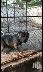 Baby Male Purebred American Pit Bull Terrier | Dogs & Puppies for sale in Eastern Region, New-Juaben Municipal