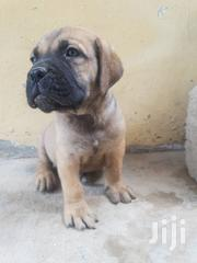 Baby Female Purebred Boerboel | Dogs & Puppies for sale in Greater Accra, Teshie-Nungua Estates